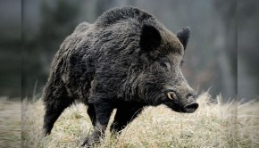 domuz-avi-wild-boar-fever-7-620-350